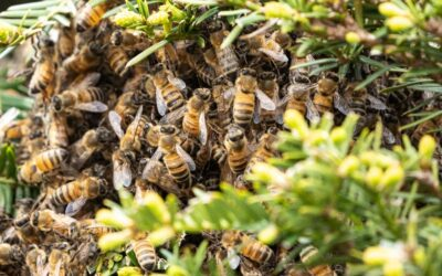 Bee hive removed in Cathedral City planned outage